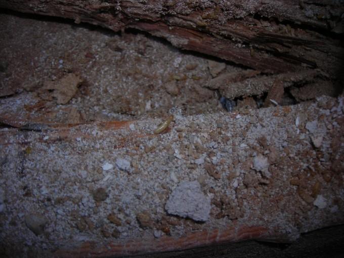 Termites Denver 2